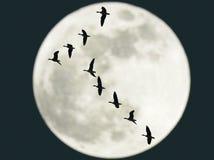 Gansos del vuelo con la Luna Llena Foto de archivo libre de regalías
