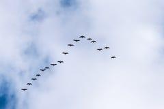 Gansos del vuelo en el cielo azul, Islandia Fotos de archivo libres de regalías