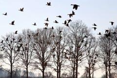 Gansos del vuelo sobre los árboles calvos hivernales, Holanda Imagen de archivo libre de regalías