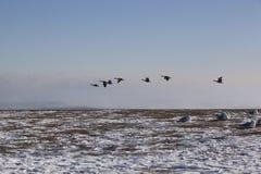 Gansos del vuelo y gaviotas de la sentada en un día hivernal de Chicago en Imagenes de archivo