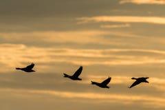 Gansos do ganso de pato bravo europeu, anser do anser imagem de stock
