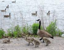 Gansos 2009 do lago toronto Imagem de Stock Royalty Free