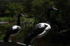 Gansos do Magpie Imagem de Stock Royalty Free