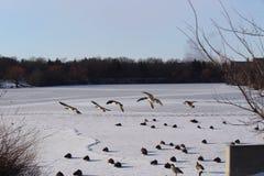 Gansos do voo que entram para aterrar no lago congelado Regina Saskatchewan Wascana imagem de stock