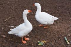 Gansos domésticos do branco dos animais de exploração agrícola imagens de stock