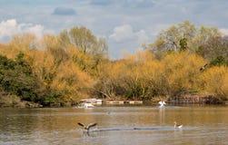 Gansos e cisnes no lago na primavera Fotografia de Stock Royalty Free