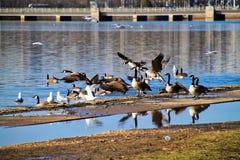 Gansos e gaivotas do voo nas poças da lagoa e da cargo-chuva que cercam Jefferson Memorial em Washington, C.C. no dia de inverno Imagens de Stock Royalty Free
