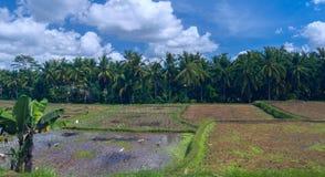 Gansos e garças-reais no campo do arroz Fotografia de Stock Royalty Free