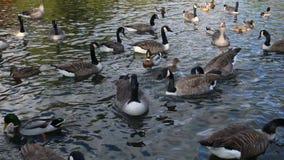 Gansos e patos de Canadá em um lago vídeos de arquivo
