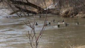 Gansos e patos de Canadá que nadam em um lago em um dia do outono filme