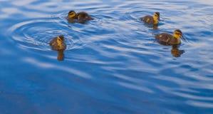 Gansos e patos do bebê que nadam para o alimento Foto de Stock Royalty Free