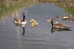 Gansos e seus bebês Imagem de Stock Royalty Free