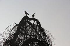 Gansos egipcios de la silueta, AlopochenAegyptiaca en árbol Imagen de archivo libre de regalías