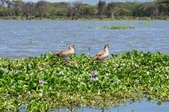 Gansos egipcios en el lago Naivasha Foto de archivo