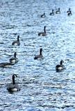 Gansos em um lago imagem de stock royalty free