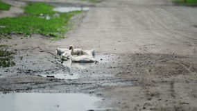 Gansos em uma poça em uma estrada secundária video estoque