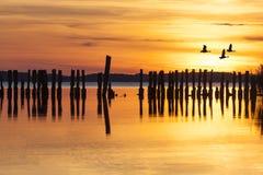 Gansos em voo sobre o quebra-mar no por do sol Foto de Stock