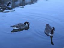 Gansos en agua Imágenes de archivo libres de regalías