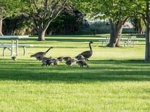 Gansos en césped en el parque cerca del lago Fotografía de archivo
