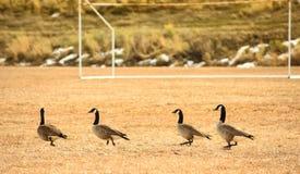 Gansos en campo de fútbol Foto de archivo