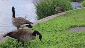 Gansos en el banco del lago