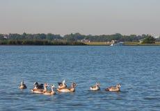 Gansos en el lago Fotografía de archivo libre de regalías