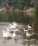Gansos en el lago foto de archivo libre de regalías