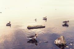 Gansos en el lago Fotos de archivo libres de regalías