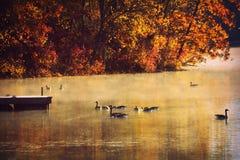 Gansos en el lago, niebla de la mañana, caída Imagen de archivo