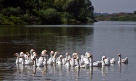 Gansos en el río Fotos de archivo libres de regalías