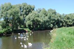 Gansos en el río Foto de archivo libre de regalías