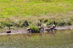 Gansos en el río de Elkader Foto de archivo libre de regalías