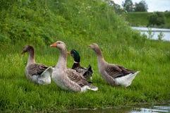 gansos en la charca del lago de la hierba imágenes de archivo libres de regalías