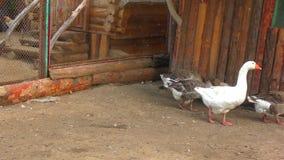 Gansos en la granja