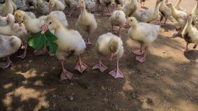 Gansos en la granja Imagen de archivo libre de regalías