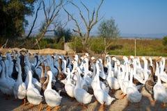 Gansos en la granja avícola Fotos de archivo