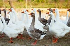 Gansos en la granja avícola Foto de archivo libre de regalías