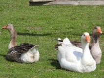 Gansos en la hierba P?jaro dom?stico Multitud de gansos Gansos blancos imagen de archivo