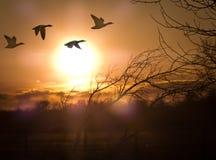 Gansos en la puesta del sol Imágenes de archivo libres de regalías
