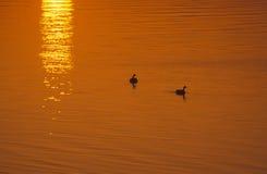 Gansos en la salida del sol Foto de archivo libre de regalías