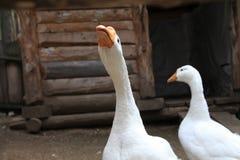 Gansos en la yarda - aves de corral blancas en la granja Imagen de archivo libre de regalías