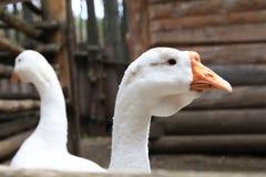 Gansos en la yarda - aves de corral blancas en la granja Fotos de archivo
