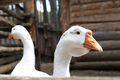Gansos en la yarda - aves de corral blancas en la granja Imagenes de archivo