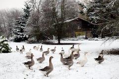 Gansos en nieve Foto de archivo libre de regalías