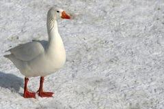 Gansos en nieve congelada Fotografía de archivo libre de regalías