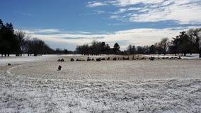 Gansos en un campo de golf nevado Fotos de archivo libres de regalías