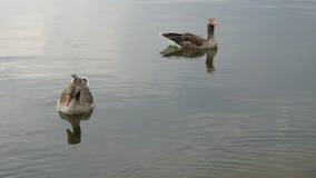 Gansos en un lago Foto de archivo libre de regalías