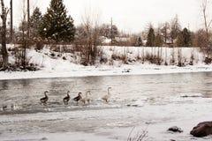 Gansos en un río helado Foto de archivo