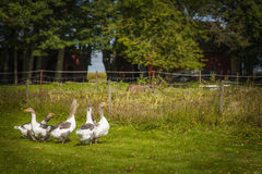 Gansos en una granja Fotografía de archivo libre de regalías