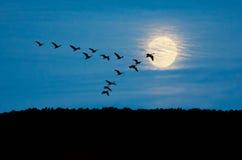 Gansos en vuelo Fotografía de archivo libre de regalías